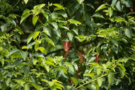葉のクスノキ クスノキはツリーを閉じる 写真素材