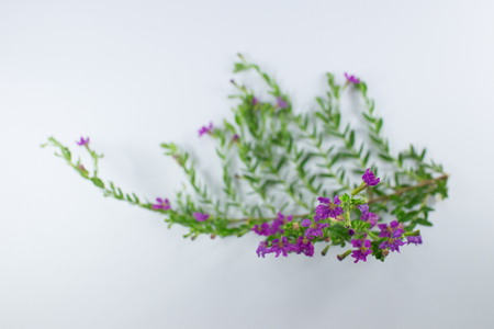 Close up of Small False heather Flower isolated