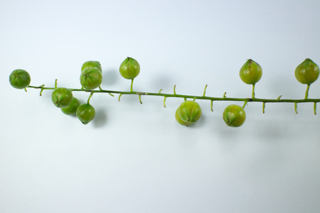 Close up  Small seed of  Duranta repens Flower isolated