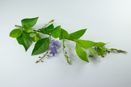 Close up Small white mix violet  flower or  Duranta repens Flower isolated