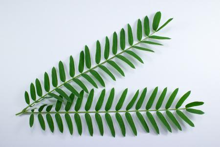 phosphorus: Horse tamarind tree, Leucaena fruit ,White Popinac Wildflowers isolated