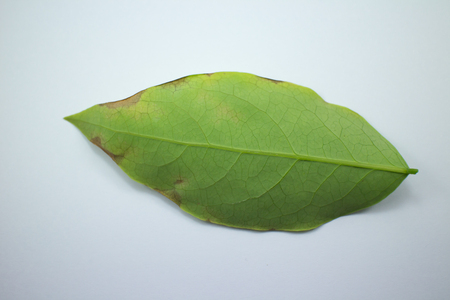 Close up Disease Green leaf of star gooseberry isolated Stock Photo