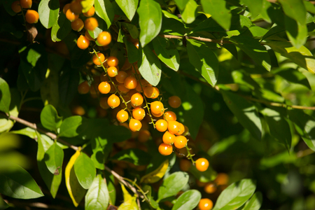 Close up  Small seed of  Duranta repens Flower on tree Stock Photo