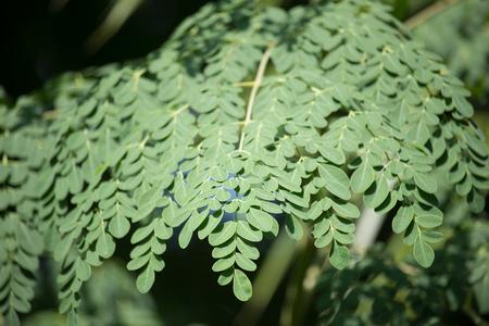 drumstick tree: Close up leaf of Horse radish tree