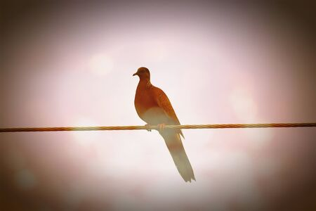 common myna bird: Retro Effect style of  bird  perching on electric wire
