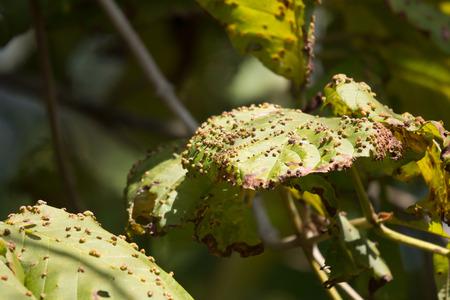 Close up Disease Green leaf of teak tree