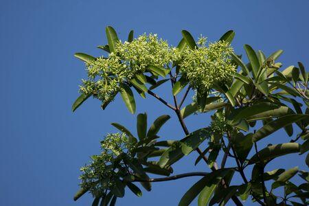 Green Flower of Blackboard Tree or Devil Tree Stok Fotoğraf