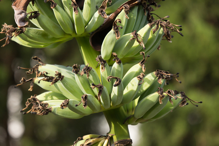 Close up of Green banana on tree, Pisang Awak banana