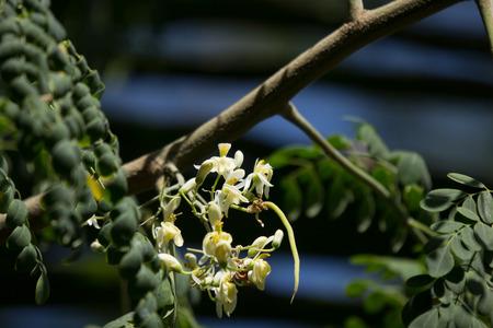 Close up White flower of Horse radish tree