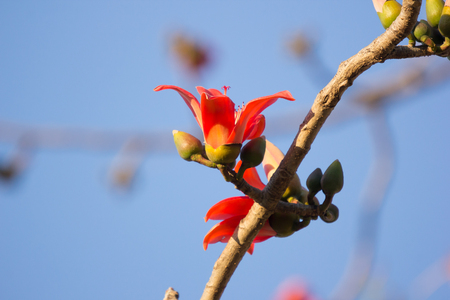Cotton Silk Tree Stock Photos And Images - 123RF