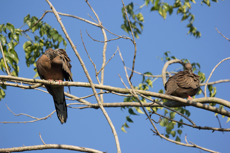 Brown Pigeon sitting on tree branch with Blue sky background.