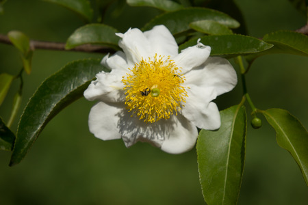 White and yellow flower name is fried egg tree or oncoba spinosa stock photo white and yellow flower name is fried egg tree or oncoba spinosa forssk mightylinksfo