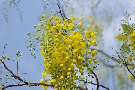 Close up Small Yellow Flower or Cassia fistula flower Stock Photo