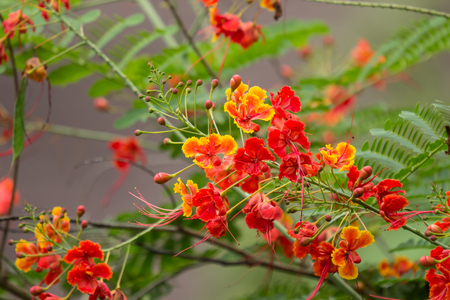 Close up Red Flamboyant flower,The Flame Tree , Royal Poinciana Stock Photo