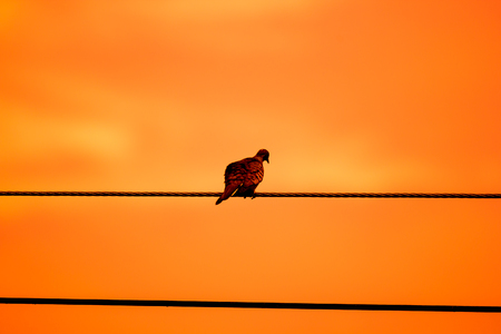 Close up of Small  bird on electricity line