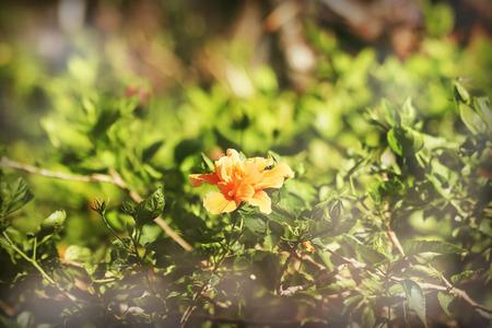 Close up Vintage filter of Orange Hibiscus rosa-sinensis 版權商用圖片