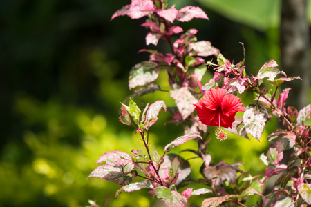 Close up of red Hibiscus rosa-sinensis or Cooperi with green leaf background