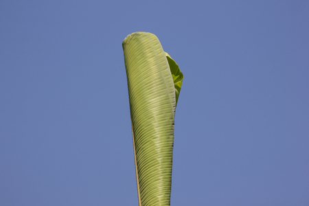 Green Leaf of banana tree, Pisang Awak banana