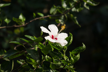 Close up of White Hibiscus rosa-sinensis or Cooperi with green leaf background