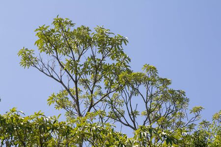 Close up leaf of Blackboard Tree, Devil Tree, Alstonia scholaris (Linn.)