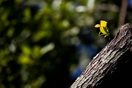 Young Leaf of Cinnamomum camphora tree