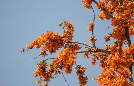 Orange flower or Butea monosperma flower in blue sky background