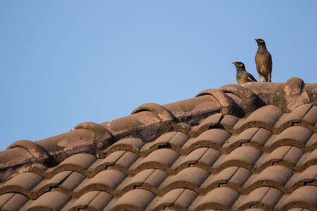 Common Myna bird on brown house roof