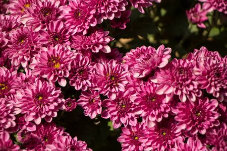A close up photo of a bunch of chrysanthemum flowers Banco de Imagens