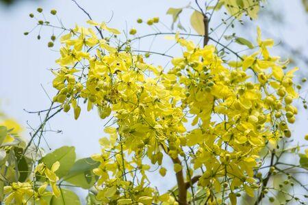 Close up Small Yellow Flower or Cassia fistula flower