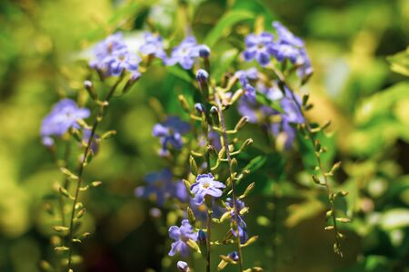 Close up Small white mix violet flower or Duranta repens Flower
