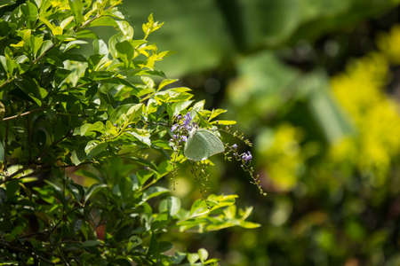 Close up Buttlefly and  Small white mix violet  flower or  Duranta repens Flower