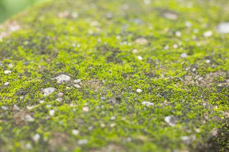 Mos textures background. Green dark mos on Stone background.