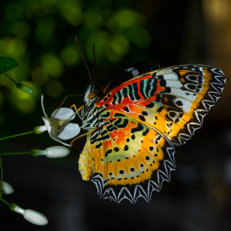 lacewing: Close up of leopard lacewing Stock Photo