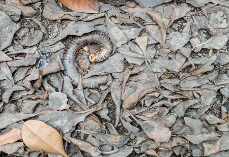 carrion: Closeup dirty floor with dried leaves and carrion of millipede