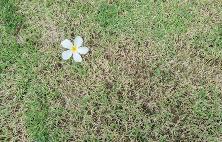 sear and yellow leaf: Fallen white flower on grass background Stock Photo