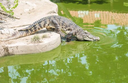 dire: Closeup crocodile in alligator pond background