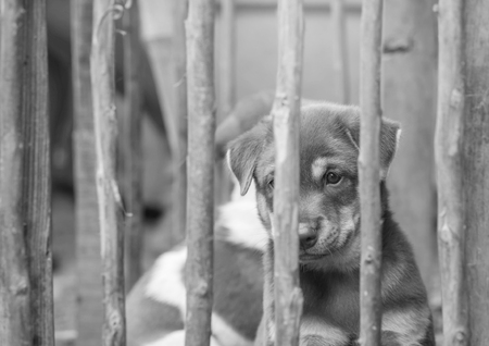 piteous: Closeup brown puppy in wood cage background in black and white tone