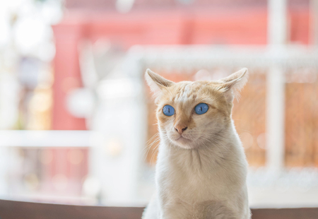 Closeup cute cat with beautiful blue eye sit on table on blurred house view background