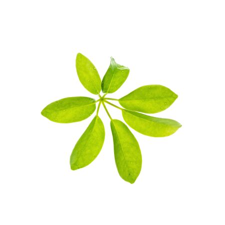 Closeup fresh green leaves isolated on white background
