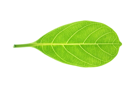 Closeup surface fresh green leaf isolated on white background with clipping path Reklamní fotografie