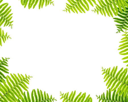 Closeup white space at the center of frame by green fern leaves isolated on white background