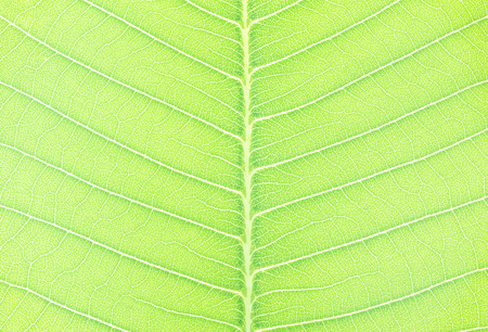Closeup surface abstract pattern at fresh green leaf of tree textured background