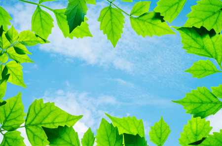 Closeup beautiful blue sky at the center of frame by green leaves isolated on white background Stock Photo
