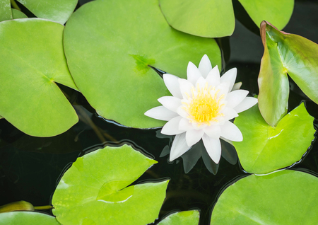 Closeup beautiful white lotus flower in pond background