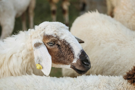 Closeup sheep wait for food from tourist in farm background Standard-Bild - 118720040