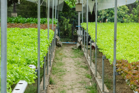 Closeup hydroponic vegetable in  vegetable farm textured background Standard-Bild - 118716737