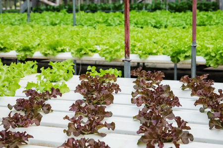 Closeup group of fresh hydroponic vegetable in  vegetable farm textured background Standard-Bild - 118716743
