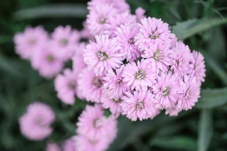 Closeup pink flower in the garden textured background Standard-Bild - 118720122