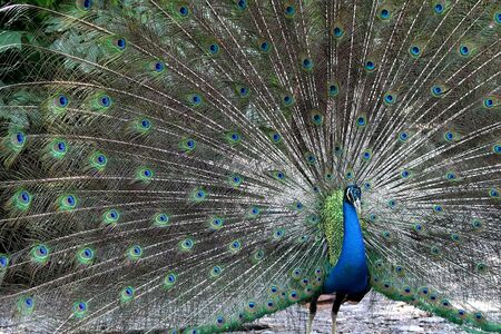 tail fan: Handsome Peacock
