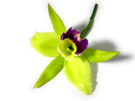 Green and purple orchid